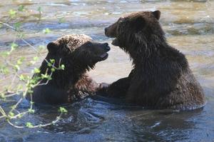 Adopteer een bruine beer
