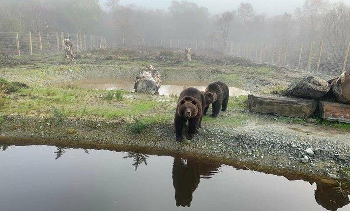 Litouwse beren arriveren in nieuw onderkomen
