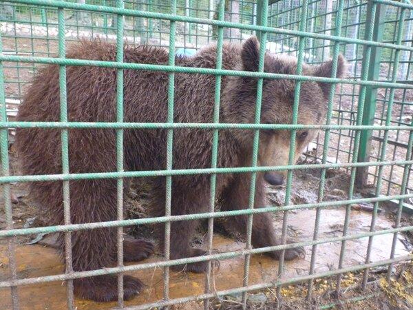 Bosnische beren in gevangenschap